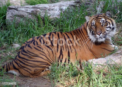 istock Tigress 172134670