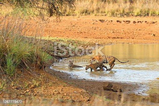 istock Tigress with cub in water 1267775472