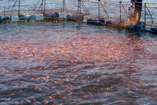 tilapia feeding - aquacultura imagens e fotografias de stock