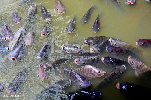istock Tilapia Fish in farm 966721668