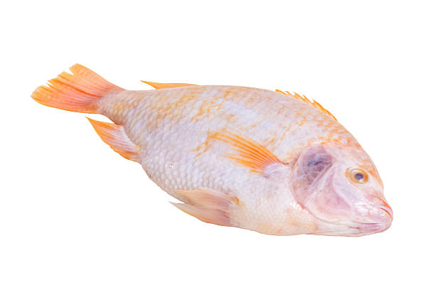 tilapia fish - omg stock photos and pictures