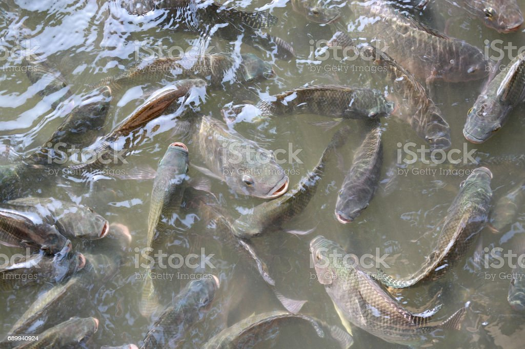 Tilapia Fish swimming in a pond. stock photo