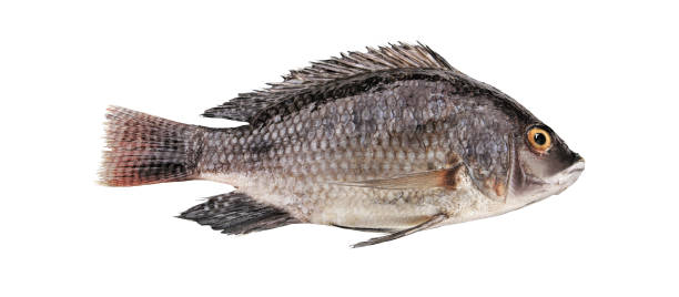 tilapia Black tilapia isolated on white background perch fish stock pictures, royalty-free photos & images