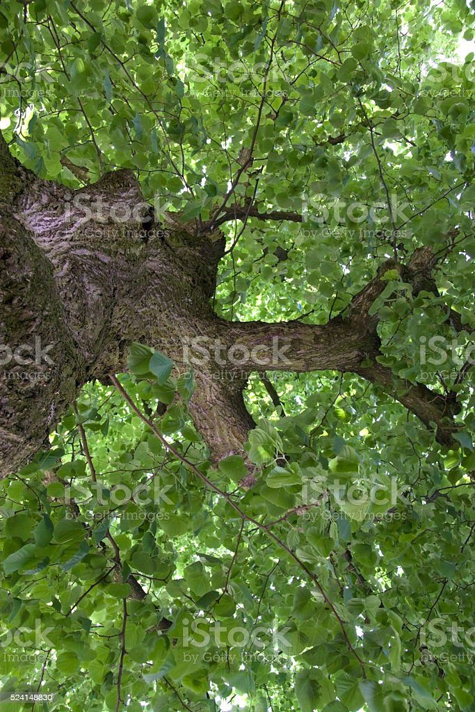 Tilia as a symbol of freedom in Amsterdam stock photo