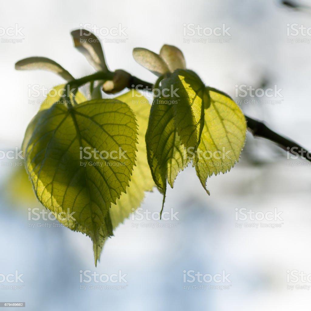 紫椴魚腥草葉子的樹枝上 免版稅 stock photo