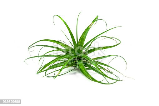 Tillandsia air plant isolated on white background. Tropical plant, bromeliad, close-up.