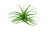 Tillandsia Air Plant Isolated on White Background