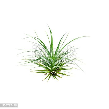 Tillandsia Air Plant Isolated on White Background. Tropical plant, bromeliad, close-up. Space for copy.