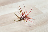 Tillandsia air plant isolated on wooden background