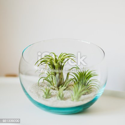 Tillandsia, air plant