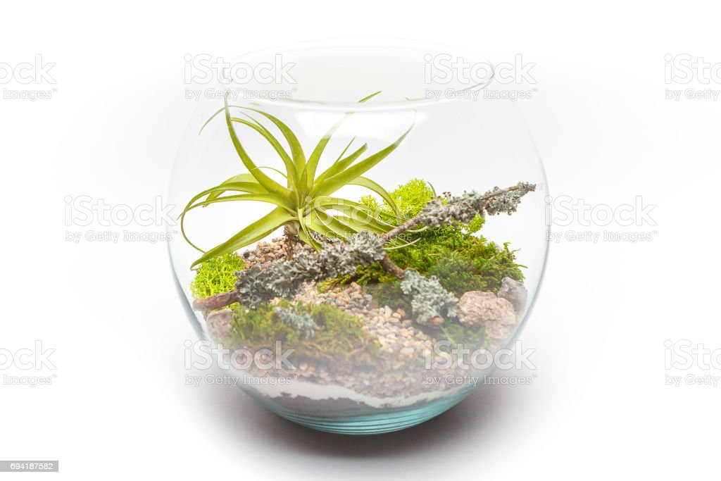 Tillandsia air plant terrarium