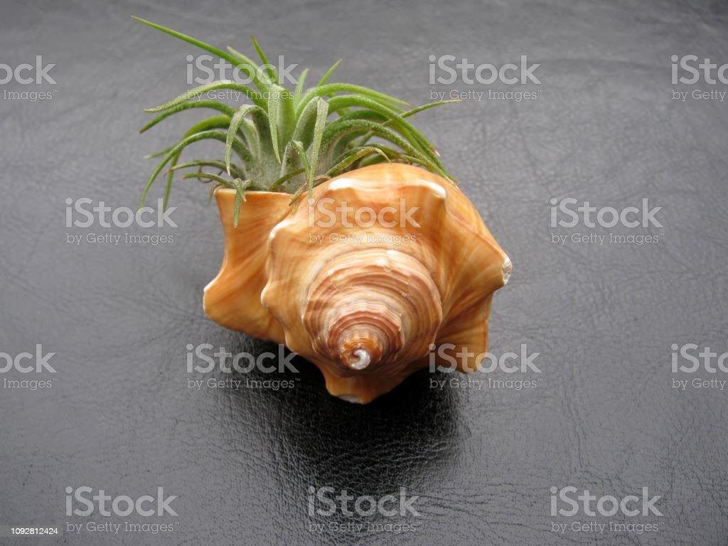 Tillandsia air plant ( Mexican Ionantha ) tucked into a seashell