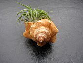 Tillandsia air plant ( Mexican Ionantha ) tucked into a seashell