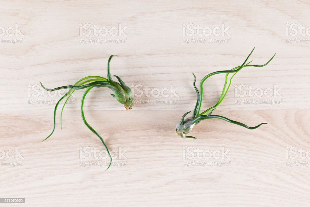 Tillandsia Bulbosa air plants isolated on wooden background