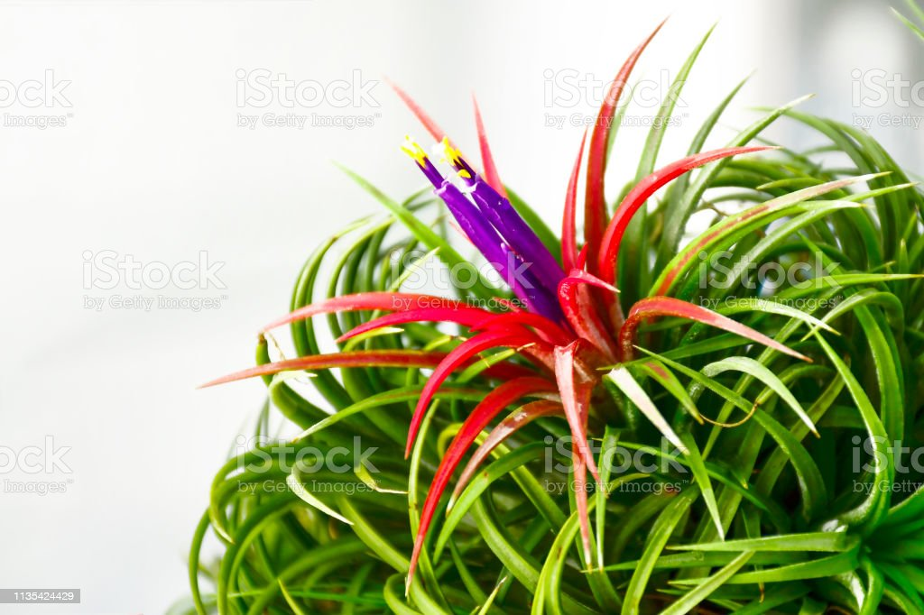 Tillandsia flowers with indoor light background.