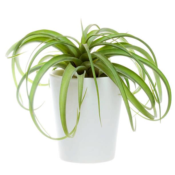 Tillandsia hybrid Concolor and Streptophylla stock photo