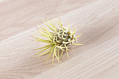 Tillandsia ionantha air plant isolated on wooden background