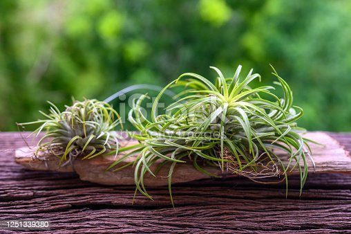 Tillandsia on wooden table with blur of background