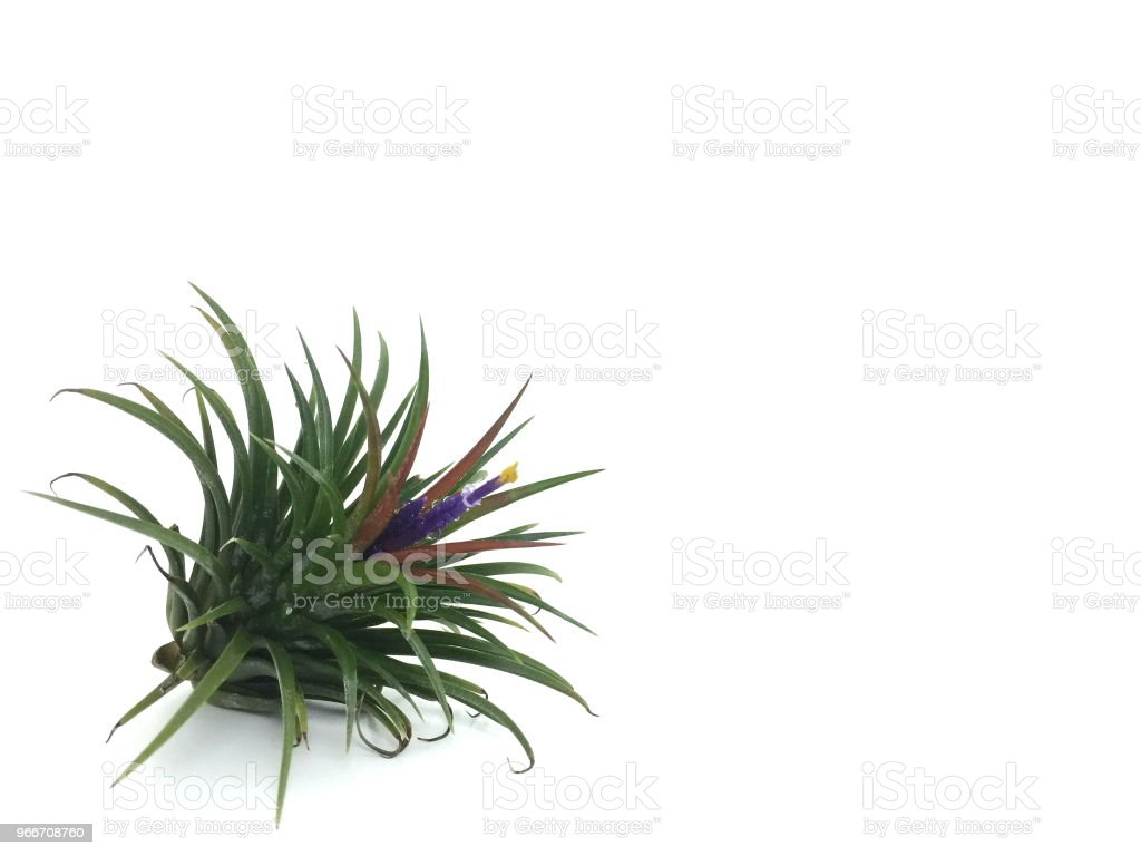Tillandsia or Air plant grows without soil while attached to other plants.