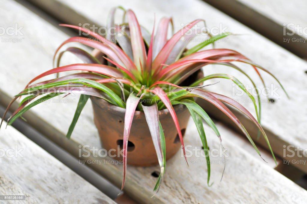 Tillandsia or  Bromeliaceae