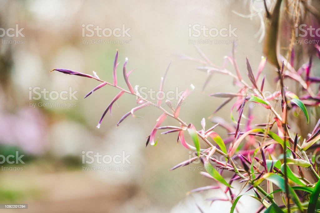Tillandsia Orchid