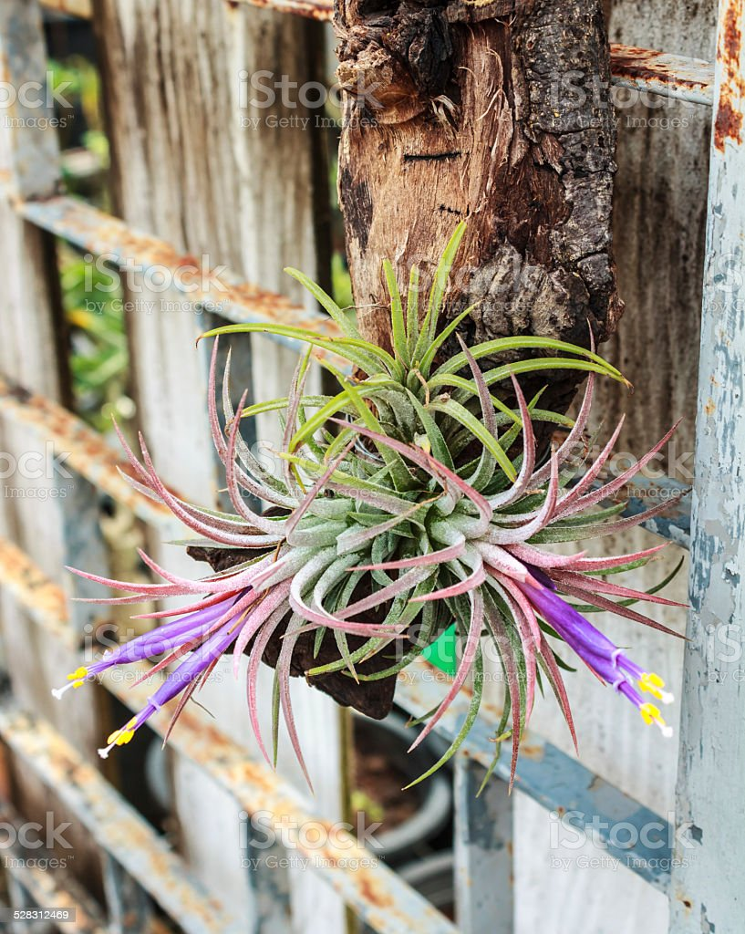 Tillandsia stock photo