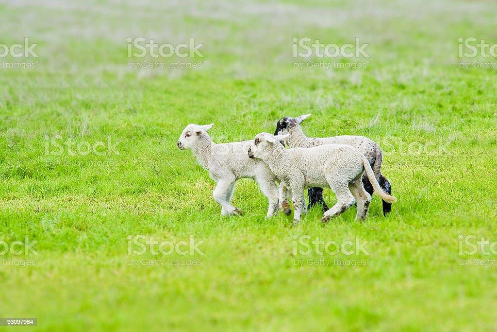Tilt Shift Little Lambs royalty-free stock photo