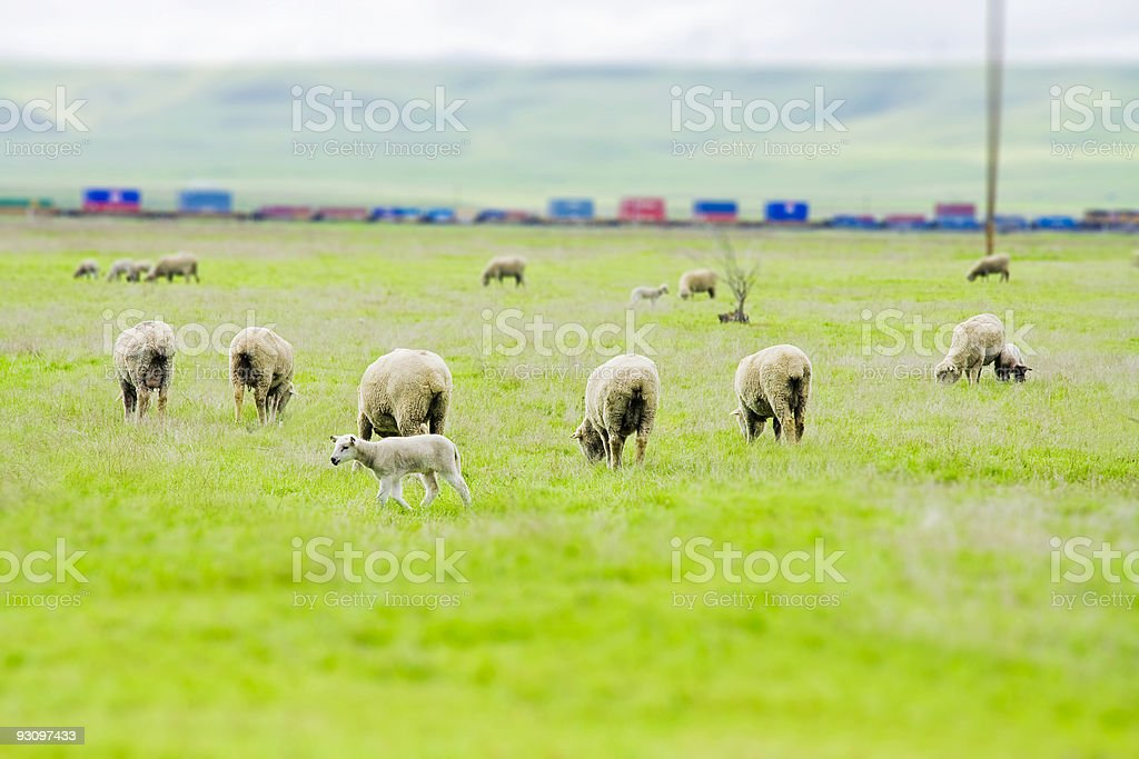 Tilt Shift Sheep by a Train stock photo