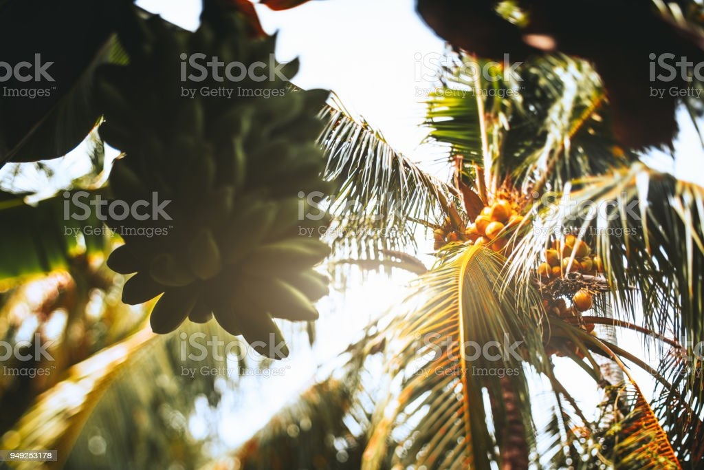 Tilt shift view of coco palm and green bananas stock photo