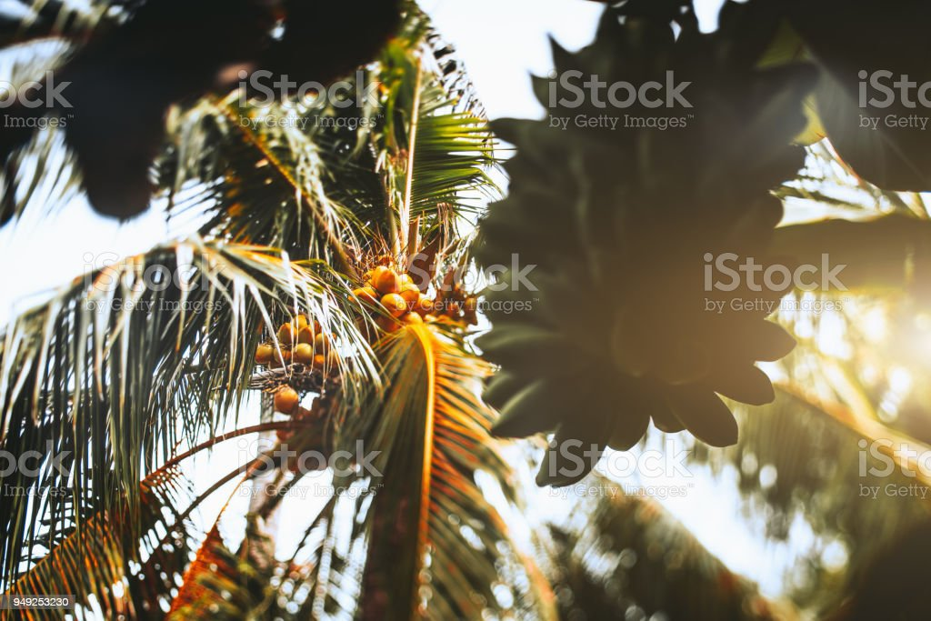 Tilt shift view of coco palm and unripe bananas stock photo