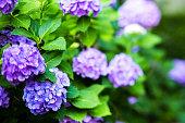 青いアジサイの花のチルトシフト画像