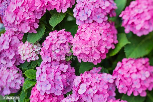 Close Up of Hydrangea Flowers in Early Summer