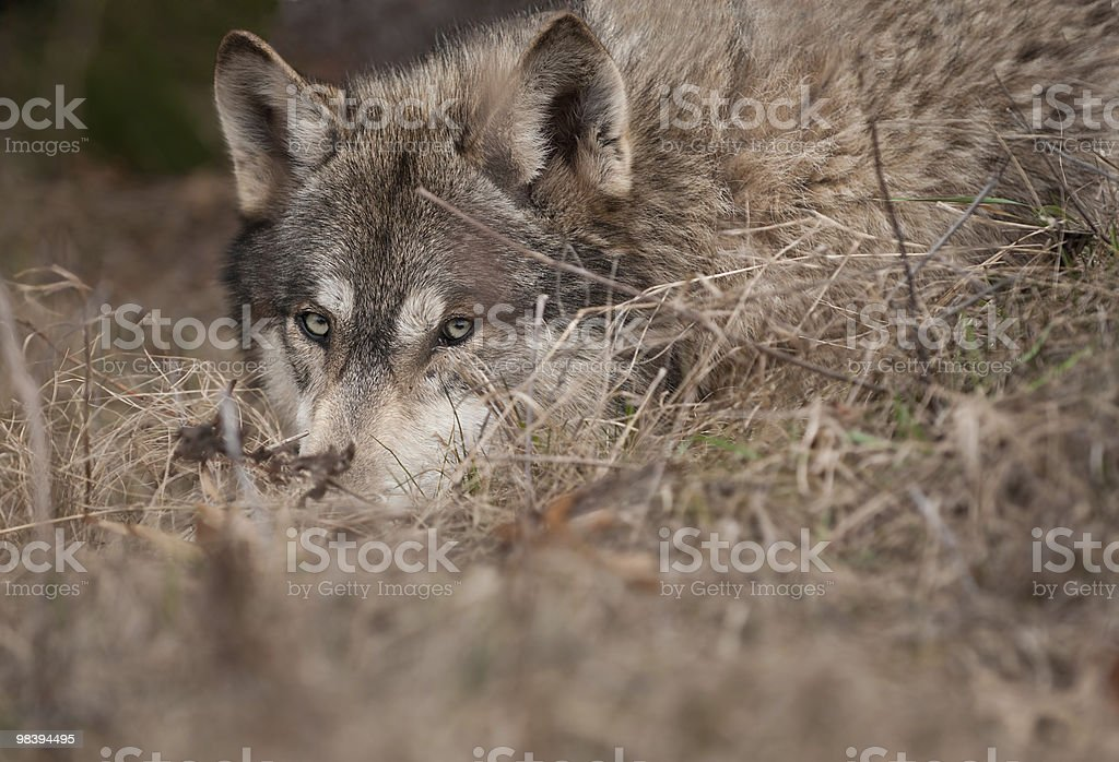 Timber Wolf (Canis lupus) Hidden in the Grass Closeup royalty-free stock photo