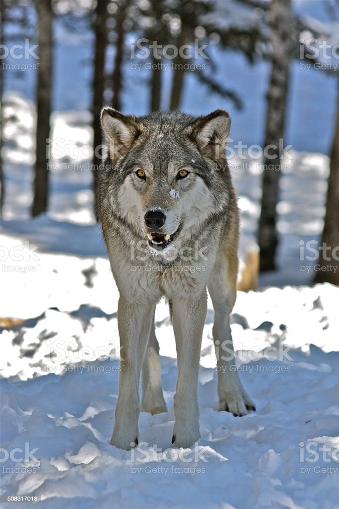 Timber wolf in shadow stock photo