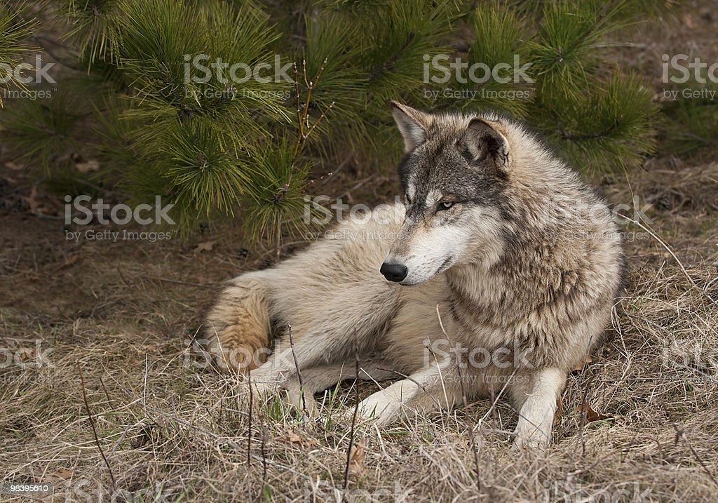 Timber Wolf (Canis lupus) Lies in the Grass royalty-free stock photo