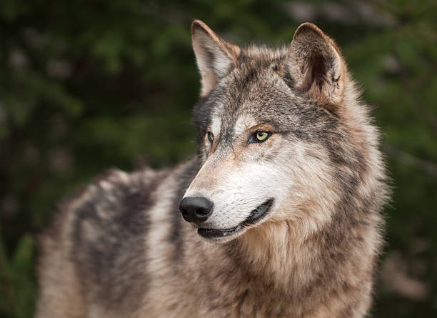 Timber Wolf (Canis lupus) Looks Left stock photo