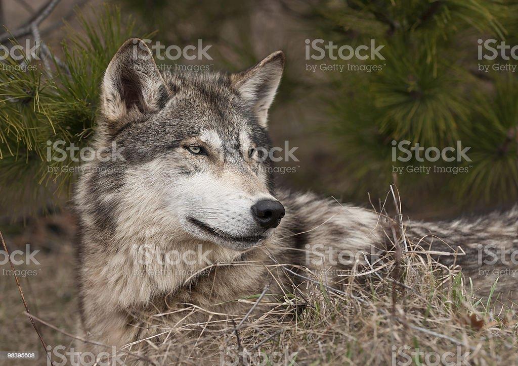 목재 울프 (Canis 루푸스) 누워있기, 잔디 & 파인에서 royalty-free 스톡 사진