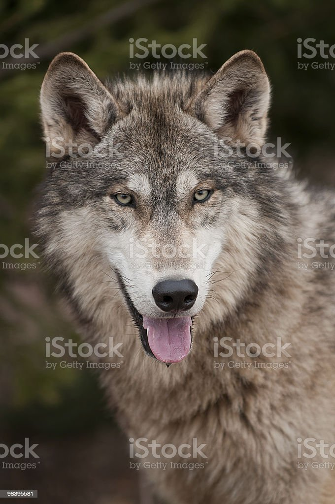 Timber Wolf (Canis lupus) Open Mouth royalty-free stock photo