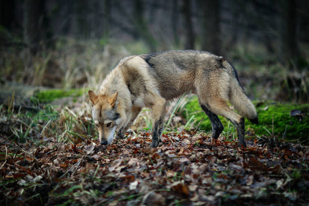Timber wolf (Canis lupus) stock photo