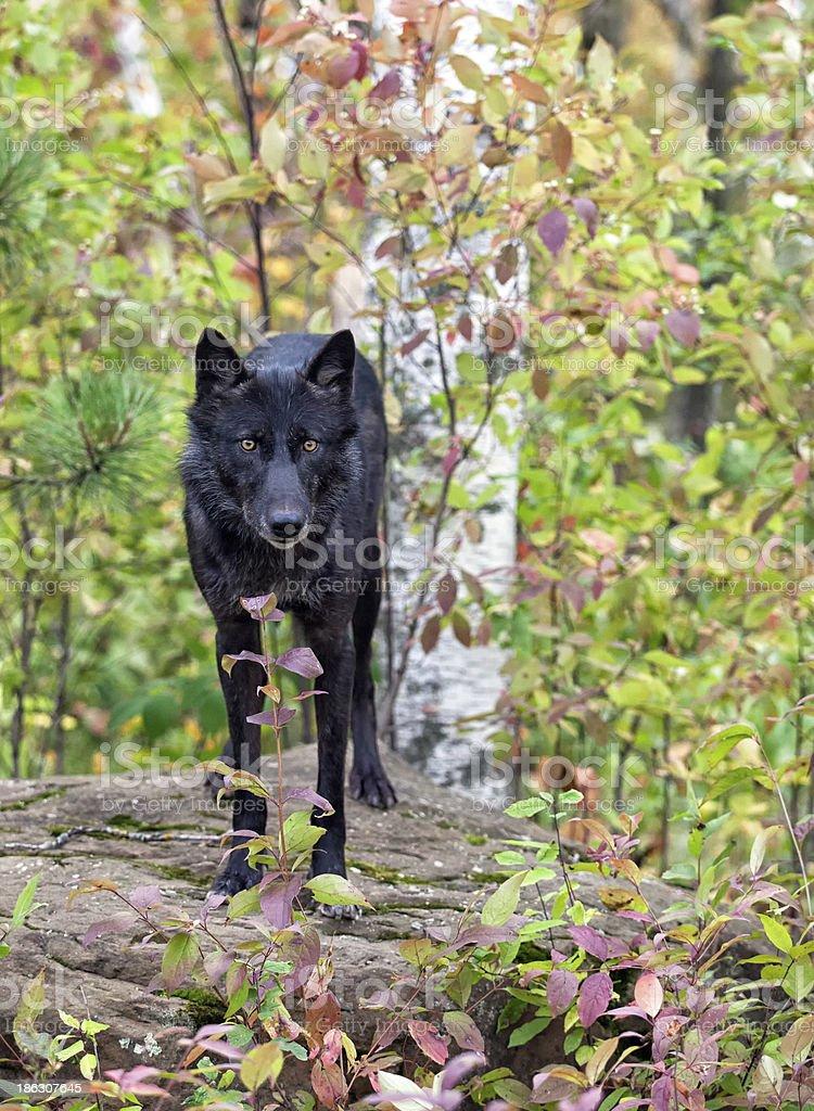 Lobo de madeira - foto de acervo