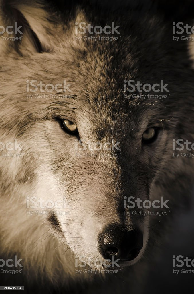 Timber Wolf stock photo