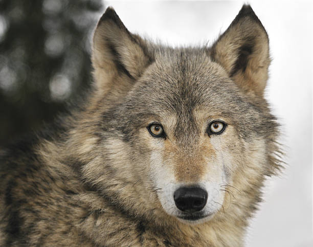 Timber Wolf (Canis lupus) Portrait stock photo