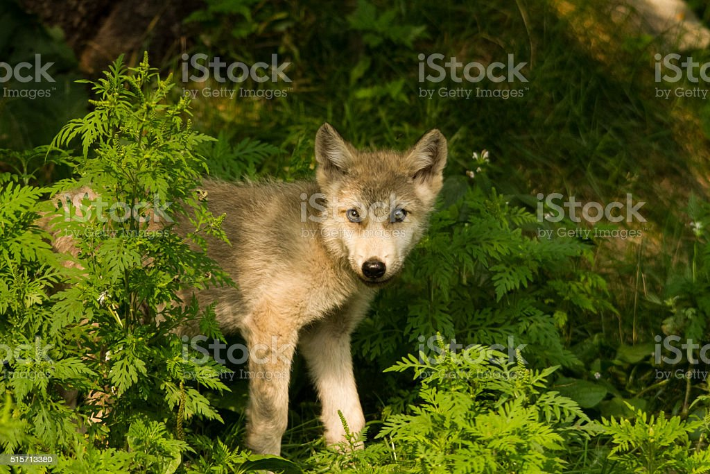 Timber Wolf Pup In The Weeds stock photo