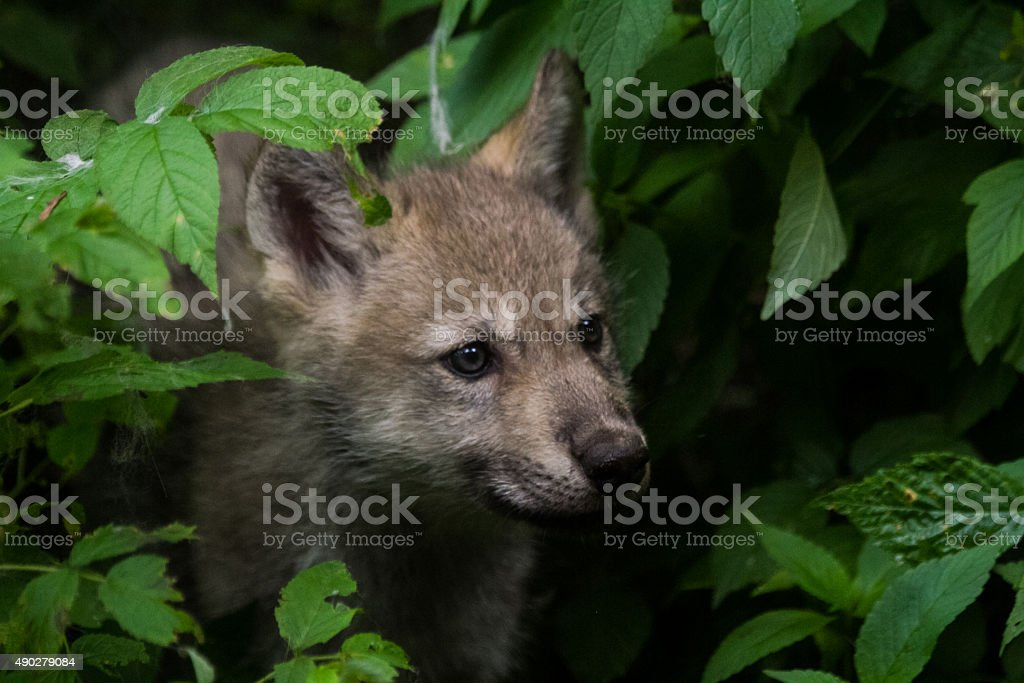 Timber Wolf Pup stock photo