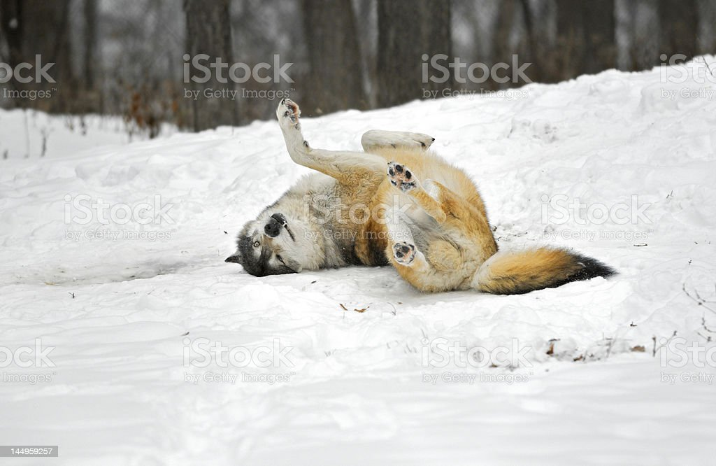 Timber Wolf (Canis Lupus) Rolls in the Snow stock photo