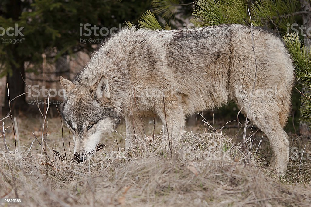 Timber Wolf (Canis lupus) Sniffs the Ground royalty-free stock photo