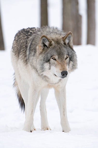 Timberwolf intent stock photo