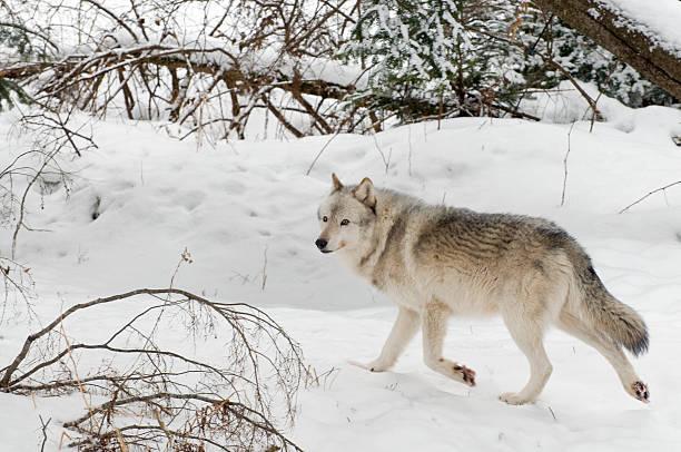 Timberwolf on the Run stock photo