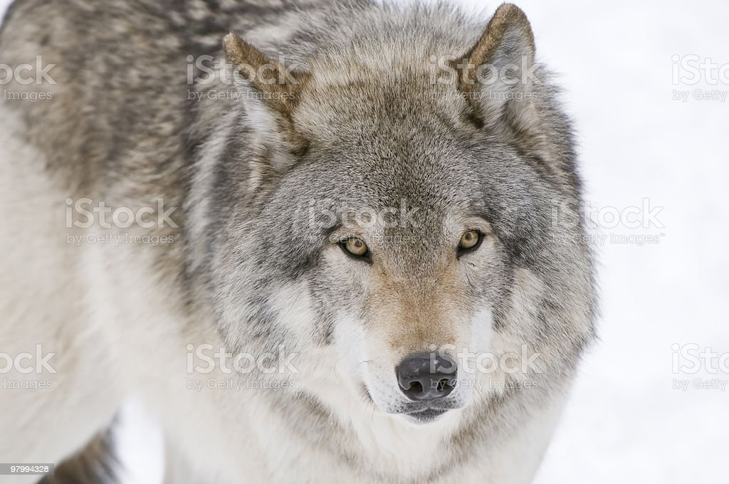 Timberwolf stare royalty free stockfoto