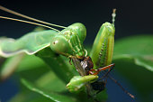 Spotted praying mantis eating another insect in Tamil Nadu, South India